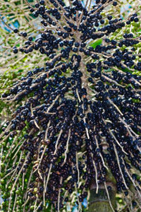 Acai Berry Extract Anthocyanin