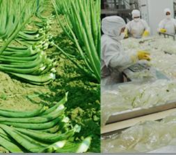 Aloe Vera Raw Materials