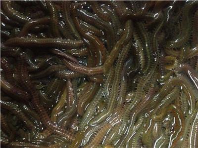 Angling Bait Aquaculture