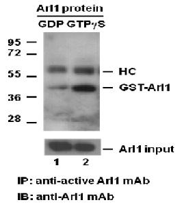 Anti Active Arl1 Mouse Monoclonal Antibody