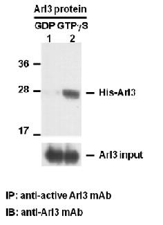 Anti Active Arl3 Mouse Monoclonal Antibody