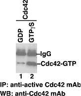 Anti Active Cdc42 Mouse Monoclonal Antibody