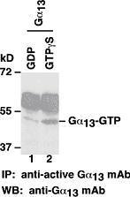 Anti Active G13 Gtp Mouse Monoclonal Antibody