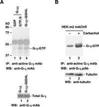 Anti Active Gi Mouse Monoclonal Antibody