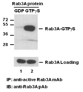 Anti Active Rab3 Mouse Monoclonal Antibody