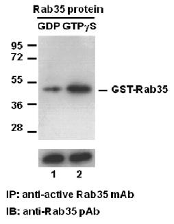 Anti Active Rab35 Mouse Monoclonal Antibody