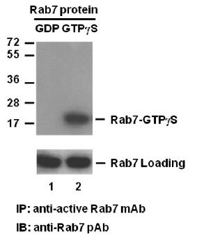Anti Active Rab7 Mouse Monoclonal Antibody