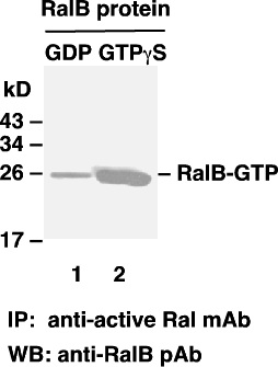Anti Active Ral Mouse Monoclonal Antibody