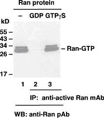 Anti Active Ran Mouse Monoclonal Antibody