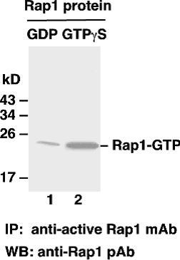 Anti Active Rap1 Mouse Monoclonal Antibody
