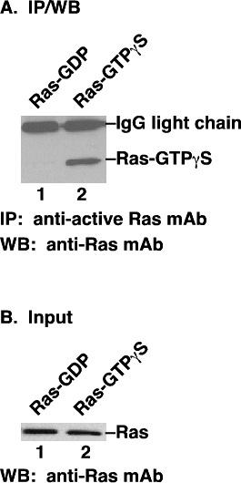 Anti Active Ras Mouse Monoclonal Antibody