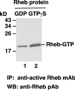 Anti Active Rheb Mouse Monoclonal Antibody