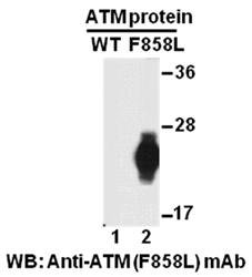 Anti Atm F858l Mouse Monoclonal Antibody