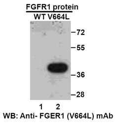 Anti Fgfr1 V664l Mouse Monoclonal Antibody