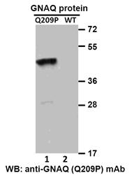 Anti Gnaq Q209p Mouse Monoclonal Antibody