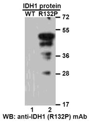 Anti Idh1 R132p Mouse Monoclonal Antibody