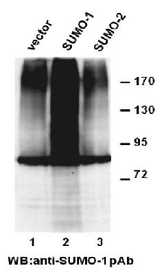 Anti Sumo 1 Rabbit Polyclonal Antibody
