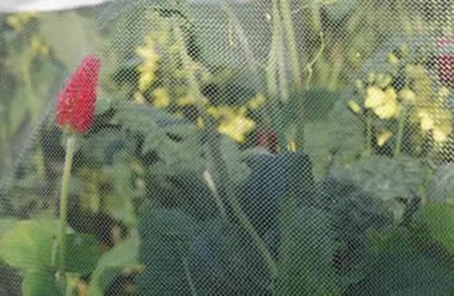 Cabbage White Butterfly Netting Protects Damage From Caterpillar