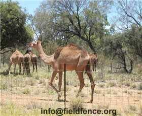 Camel Fence Heng Shui