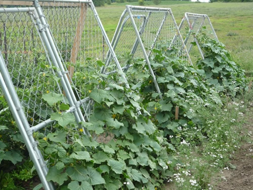 Cattle Panel Trellis With Versatile Purposes In Your Garden
