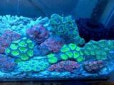 Corals Livestock Xanh Tuoi Tropical Fish