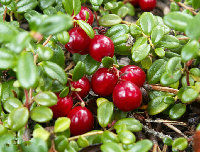 Cranberry Extract Anthocyanin