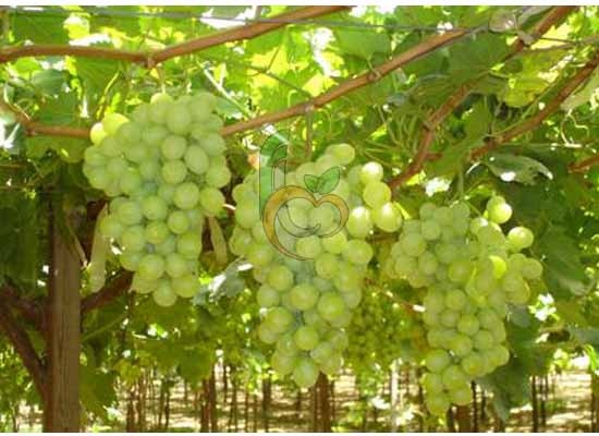 Fresh Seedless Grapes From Egypt By Fruit Link Company
