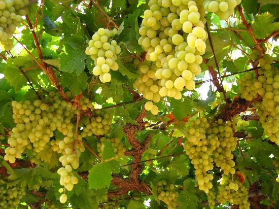 Fresh White Red Grapes Egypt