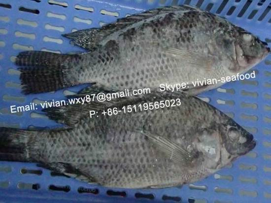 Frozen Black Tilapia Fish Gutted And Scaled Oreochromis Niloticus