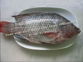 Frozen Black Tilapia Fish Whole Round Oreochromis Niloticus