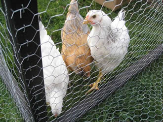 Galvanized Chicken Wire Traditional And Stable