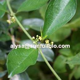 Gymnema Sylvestre Extract 25 75 Gymnemic Acids