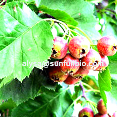 Hawthorn Leaf Extract Crataegus Concentrated Sodium