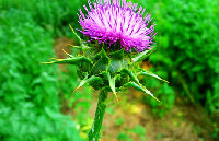 Milk Thistle Extract Flavone
