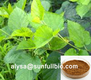 Mulberry Leaves Extract