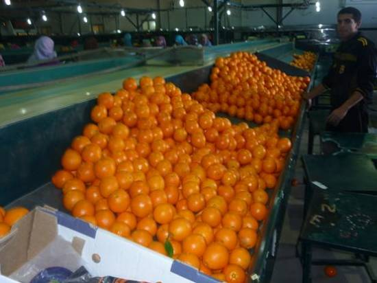Navel Orange With High Quality