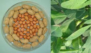 Peanuts Or Grountnut Kernal Exporter