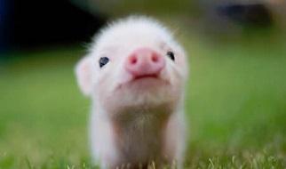 Pig Pregnancy Test Kit