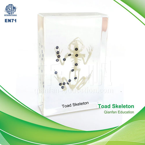 Qianfan Toad Skeleton Educational Embedded Specimen 1103 Real Nature Savety Preserved Forever