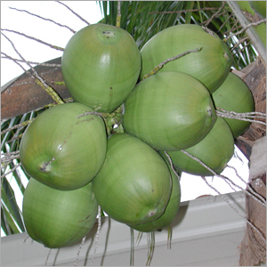 Supply Fresh Coconut From Viet Nam