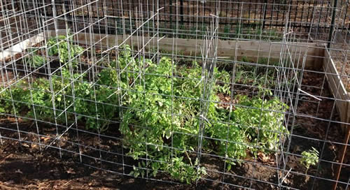 Tomato Ladders Give You A Bigger Harvest Of Delicious Tomatoes