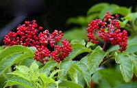 Wild Elderberry Extract