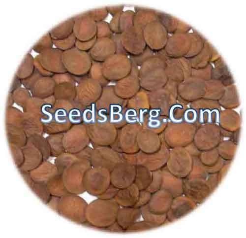 Bauhinia Purpurea Tree Seeds