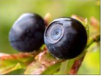 Bilberry Extract Anthocyanidin Anthocyanin