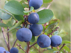 Blueberry Extract Anthocyanidins