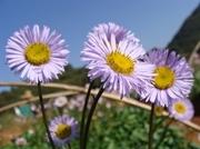 Erigeron Breviscapus Extract Plant