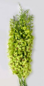 Fresh Cut Orchids Flower Wholesale Dendrobium Burana Green