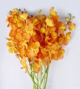 Fresh Cut Orchids Flower Wholesale Mokara New Orange