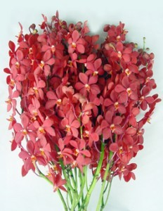 Fresh Cut Orchids Flower Wholesale Mokara Red