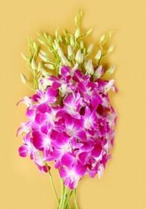 Fresh Orcchis Cuut Flower Dendrobium Redm Sonia